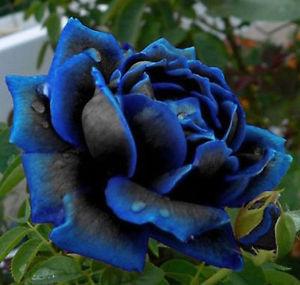 Le Rose Blu